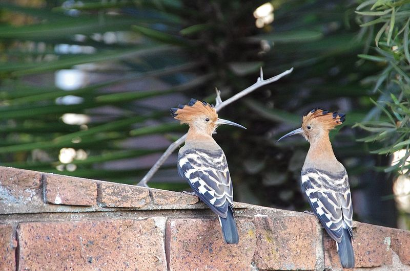 Hoopoes Perching On Wall