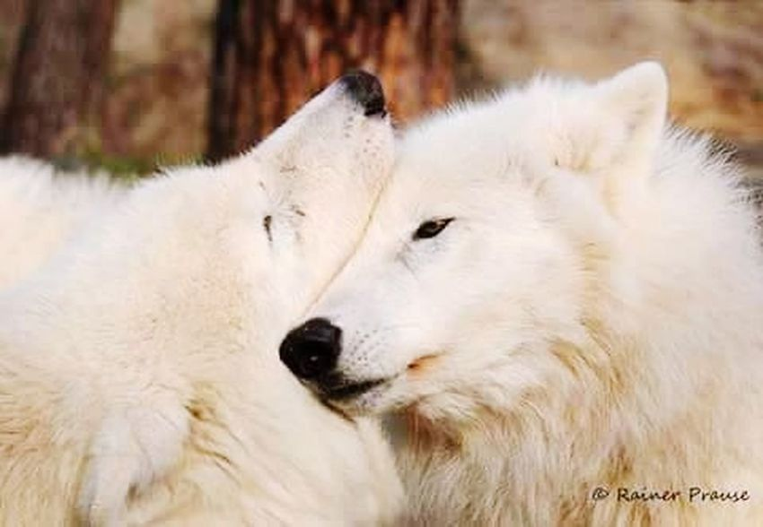 Wild and free One Animal White Color Animal Pets Animal Hair Animal Body Part Dog