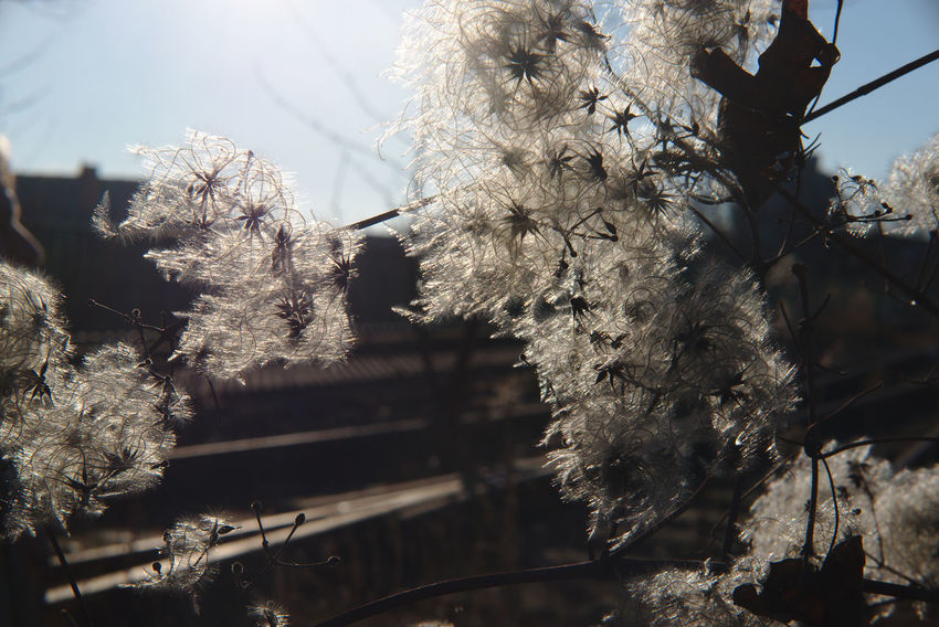 on a clear winter day the white blossoms beneath the tracks fascinated me Beauty In Nature Branch Close-up Cold Temperature Day Flower Fragility Freshness Growth Low Angle View Nature No People Outdoors Sky Springtime Tree Winter