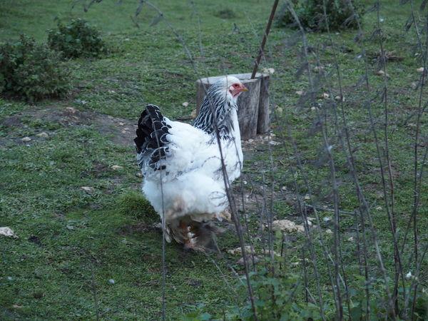 Week end en sologne Chicken Poultry Sologne