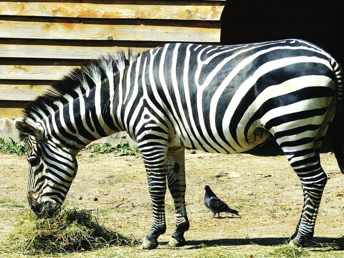 Zebra Zebra The Zoo Eatanimals Animallover EyeEmAnimalLover Eyeemanimals Naturephotography Zooanimals Zoophotography Cuteanimals Eyeemcollection Eye4photography  Animalphotography Zoo EyeEmbestshots Oradea,România Blackandwhite