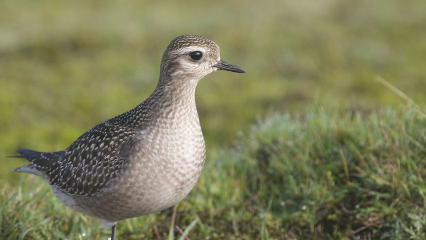American Golden Plover Aves Cornwall Birds Davidstow Airfield Animal Themes Animal Wildlife Animals In The Wild Bird Birds Close-up Cornwall Golden Pavilion  Nature Outdoors Wader Waders