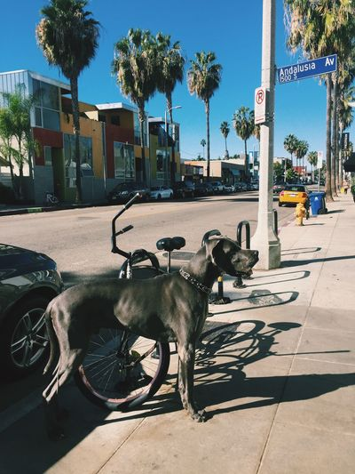 Abbot Kinney California Day Dog Domestic Animals IPhoneography Livestock Los Angeles, California One Animal Outdoors Palm Trees Road Street Travel Traveling Tree Venice Waiting