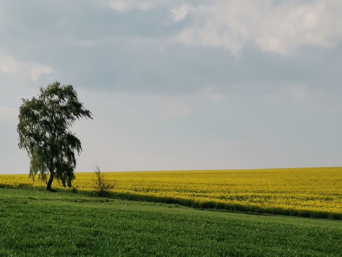Tree Cereal Plant Rural Scene Oil Pump Agriculture Oilseed Rape Field Crop  Farm Springtime Single Tree Patchwork Landscape Agricultural Field Plantation Cultivated Land Cultivated