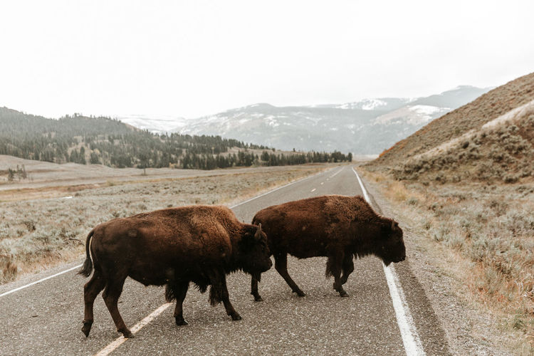 American bison walking on road against mountains