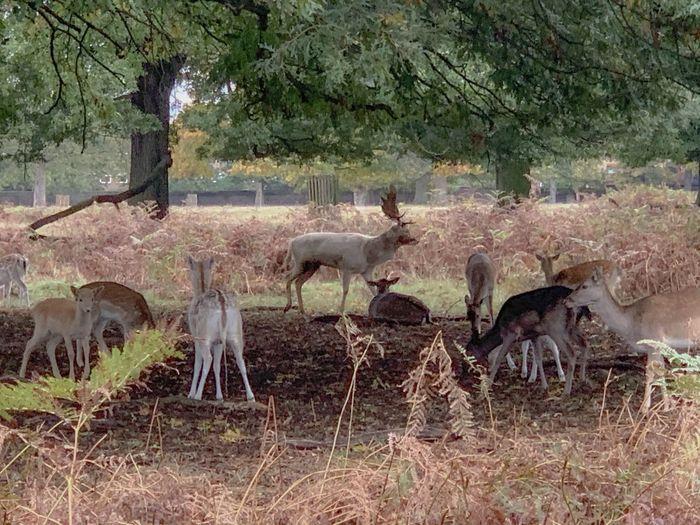 Deers Animal