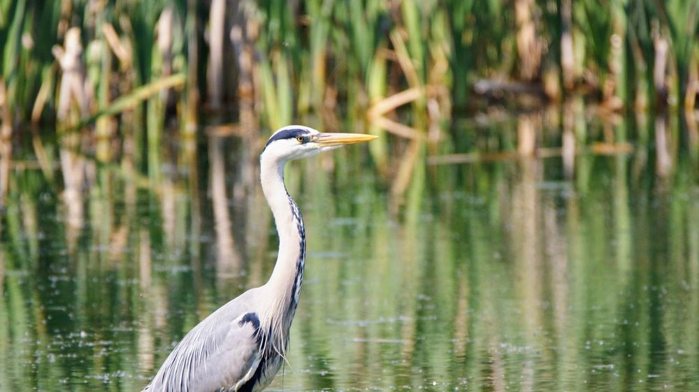 Animal Animal Themes Animal Wildlife Animals In The Wild Beauty In Nature Bird Day Focus On Foreground Gray Heron Great Blue Heron Heron Lake Nature No People One Animal Reflection Vertebrate Water Water Bird