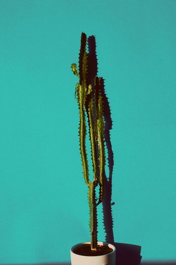 Plant Blue Studio Shot Copy Space Colored Background Nature No People Growth Indoors  Close-up Beauty In Nature Clear Sky Green Color Wall - Building Feature Day Blue Background Still Life Succulent Plant Sky Cactus Minimalism Retro Styled Modern