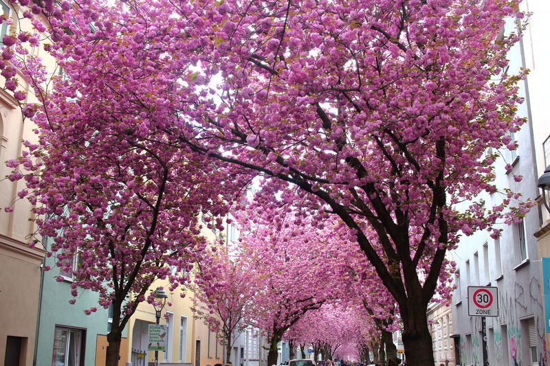Tourist Attraction  EyeEm City Shots EyeEm Nature Lover Kirschblüte Bonn Pink Color Flower Flowering Plant Tree Plant Growth Springtime Blossom Fragility Building Exterior Architecture Nature Freshness Cherry Blossom Beauty In Nature Cherry Tree No People Outdoors Purple Spring