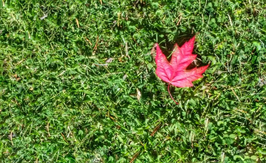 Grass Nature Leaf Change Autumn High Angle View Green Color Day Growth Outdoors No People Beauty In Nature Fragility Field Flower Close-up Maple