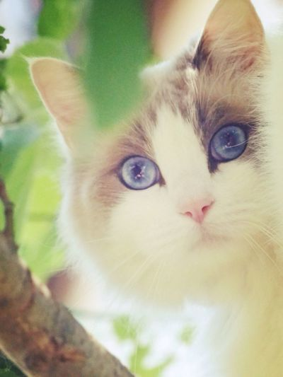 Domestic Cat Pets Domestic Animals Mammal One Animal Cat On The Tree Cat Outdoors Cat In Garden Cat In The Greenery Natural Enjoying Life Ragdoll Ragdoll Cat BlueEyes Blueeyedcat Warm Clothing Animal Eye Looking At Camera Feline Portrait Close-up Whisker No People Indoors  Day