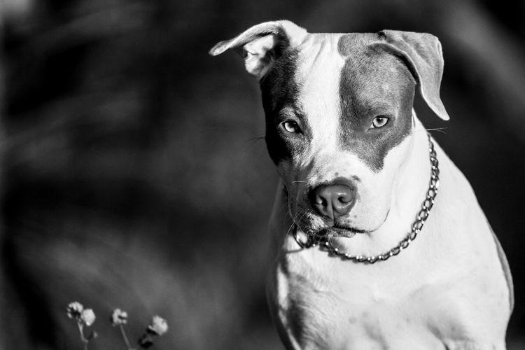 Portrait of pit bull terrier