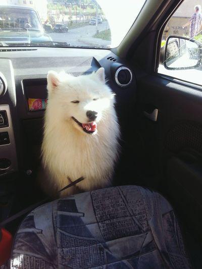 Ilovemydog собакаулыбака Dog самоедская собака Samoyed самоед Dog❤ Perm Пермь Photo вмашине