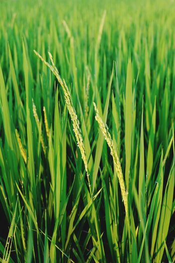 Rice plants Rice Field Green Nature Rice Paddy Close-up Rural Scene Agriculture Rice Paddy Field Crop  Farm Close-up Young Plant Farmland Countryside Grassland