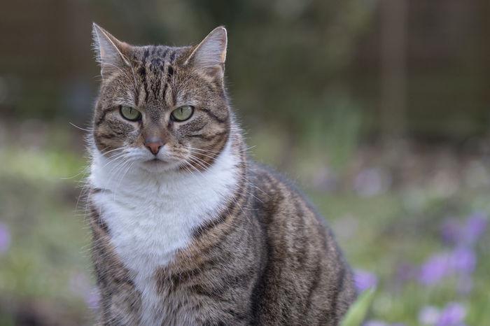 Domestic Animals Domestic Cat Hauskatze Katze No People One Animal Pets Tabby Cat Sally