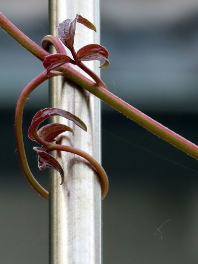 Close-up of rusty metal fence against plants