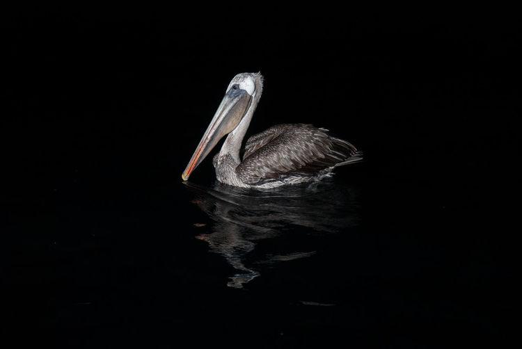 Galapagos Pelikan Night Animals In The Wild