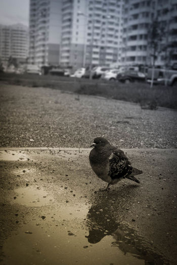 Animal Themes Architecture Bird Blackandwhiteandcolor Built Structure City Day Forlorn Lonely Nature No People One Animal Outdoors Pigeon