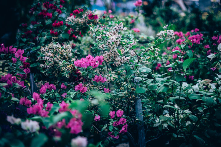 Beauty In Nature Blooming Bokeh Bougainvillea Bush Close-up Colorful Sky Day Flower Flower Head Fragility Freshness Gardening Growth Large Group Nature No People Ornamental Outdoors Plant Spring Thorny Plant Tropical Plants Vines Shrubs
