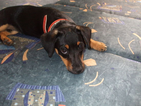 Animal Cute Dachshund Dog Domestic Animals Look At That Face Lying Down Mazsi Pets