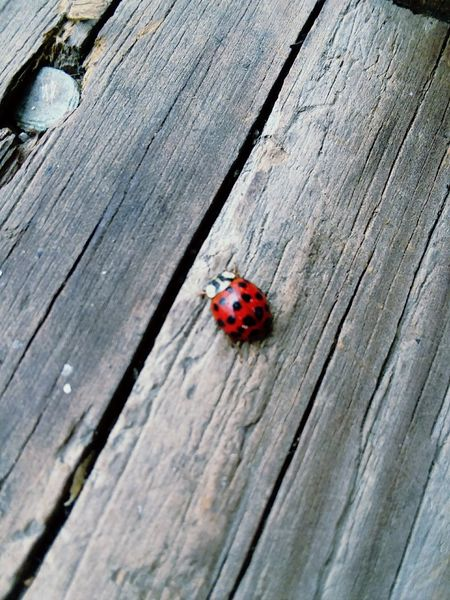 Animals In The Wild Insect Ladybug Animal Themes One Animal Red Wood - Material Wildlife Spotted Tiny Animal Wildlife No People Close-up Day Outdoors Nature
