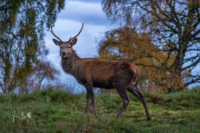 Little stag taken at dawn . Eye4photography  Scotland EyeEm Masterclass Dawn Wildlife Collection Sony A6500 Sonyalpha
