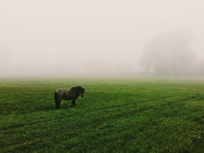 Horses grazing on grassy field during foggy weather