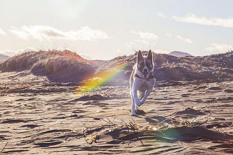 Ненси МояСобака собака лайка океан песок