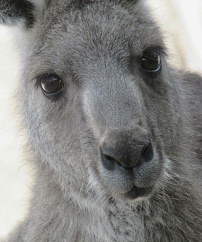 Portrait of a Kangaroo. Telephoto. Kangaroo Thinking Eyes Grey Australia Kangaroos Kangaroo Friend Face Faces Of EyeEm Skippy Serious Faces Of Summer Stern Furry Aussie Kanga Australian Wildlife One Animal Mammal