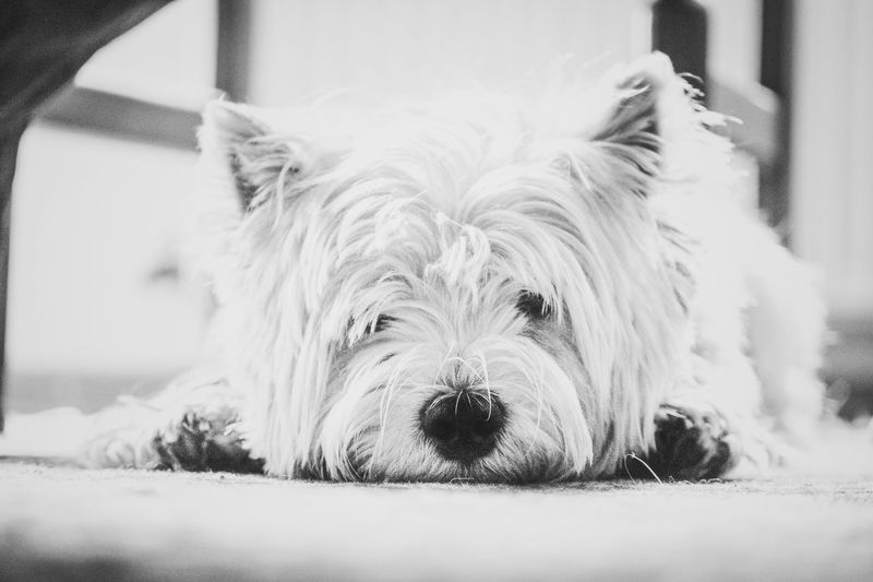 Pet Portraits One Animal Animal Themes Pets Mammal Domestic Animals Dog Animal Hair Close-up Portrait Indoors  Looking At Camera No People West Highland White Terrier Day