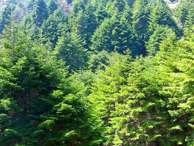 Lebanese Cedars