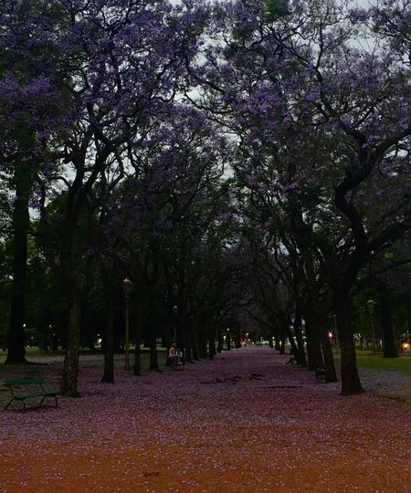 Tree Growth Nature Beauty In Nature Tranquility Wisteria Outdoors Blossom Flower Leaf No People Scenics Tranquil Scene Branch Day Tree Line Purple Flowers Tree Lined Path Park