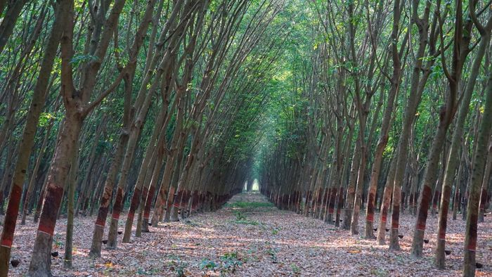 """""""My Rubber Plantation"""" Nature Tree Outdoors Landscape Forest No People Beauty In Nature Rubber Tree First Eyeem Photo The Secret Spaces"""