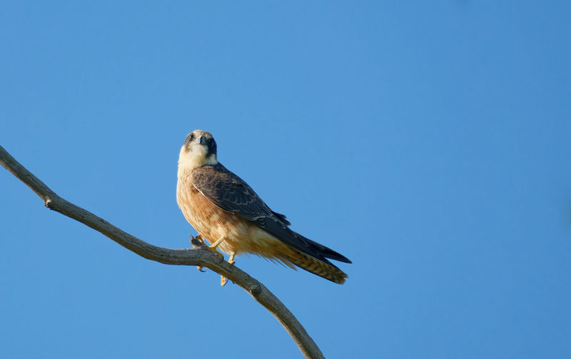 Animal Themes Animal Animal Wildlife Bird Animals In The Wild One Animal Perching Low Angle View Copy Space Blue Nature No People Tree Outdoors Eagle Brown Falcon Werribee Melbourne Victoria