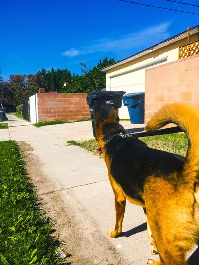 Domestic Animals Pets Animal Themes One Animal Mammal Dog Shadow Sunlight Outdoors No People Building Exterior Sky Day Built Structure Architecture Tree German Shepherd The City Light