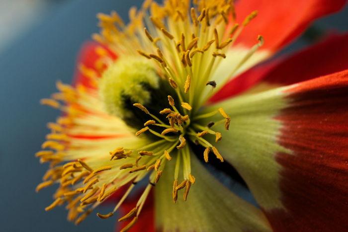 Poppy Flower Beauty In Nature Blooming Blossom Flower Fragility Freshness Garden Growth Light Macro Makro Nature Plant Pollen Poppy Red Yellow