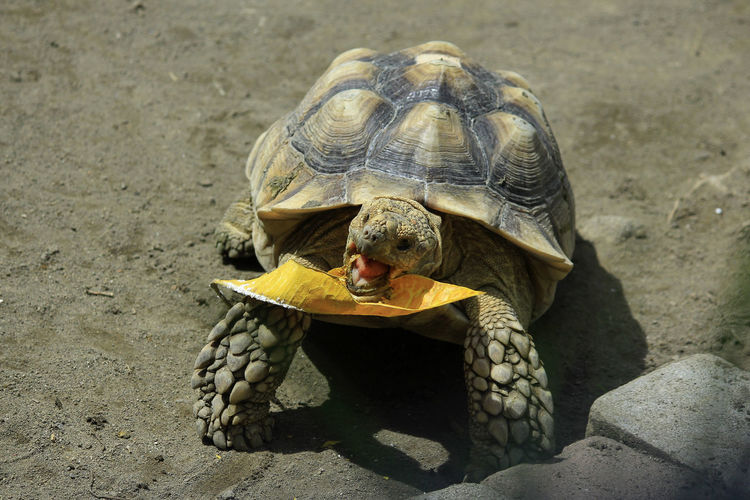 Sulcata tortoise african spurred tortoise eat a leaf. herbivorous animal