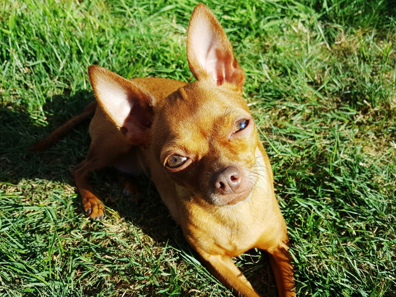 High Angle Portrait Of Chihuahua Relaxing On Grassy Field During Sunny Day