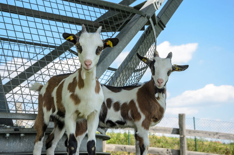 Portrait of goats against sky