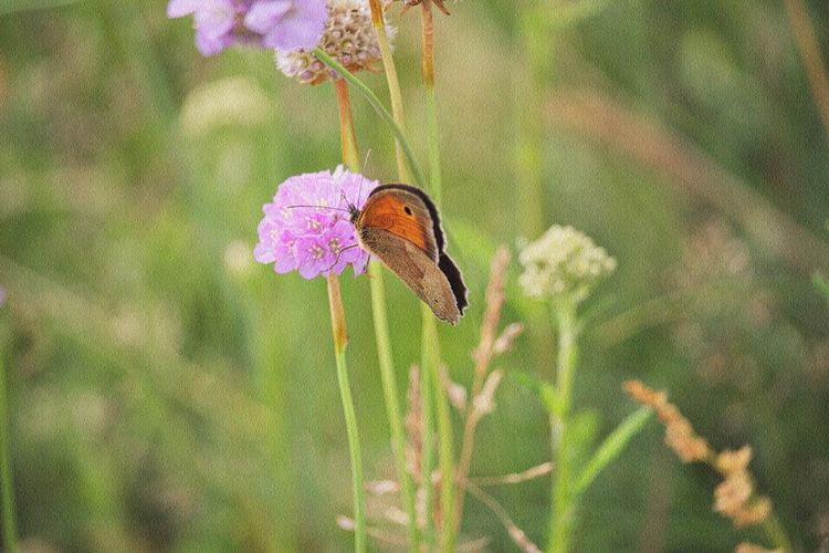 Animal Wing Flower Head Butterfly - Insect Focus On Foreground Nature Petal Vulnerability  Animal Themes Animal Wildlife Flower Beauty In Nature Close-up Fragility One Animal Animal Animals In The Wild Insect Photography Freshness Insect Plant Nature_collection Nature Photography Naturelovers Lovely Beautiful Nature Scenics - Nature Walking Around Taking Pictures Snapshot Flower Photography Flower Collection Meadow Flowers Meadow Fieldscape Natural Beauty Animal Photography Nature Is My Sanctuary 🌳💚 Nature Is My Best Friend Nature Is Art EyeEm Nature Lover EyeEm Gallery Eye4photography  Flowering Plant Pink Color Pollination Growth