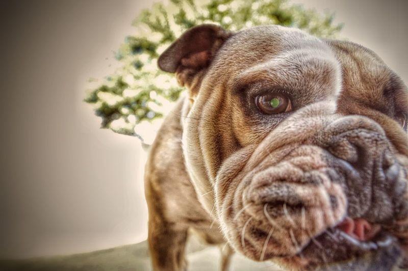 Close-up of english bulldog