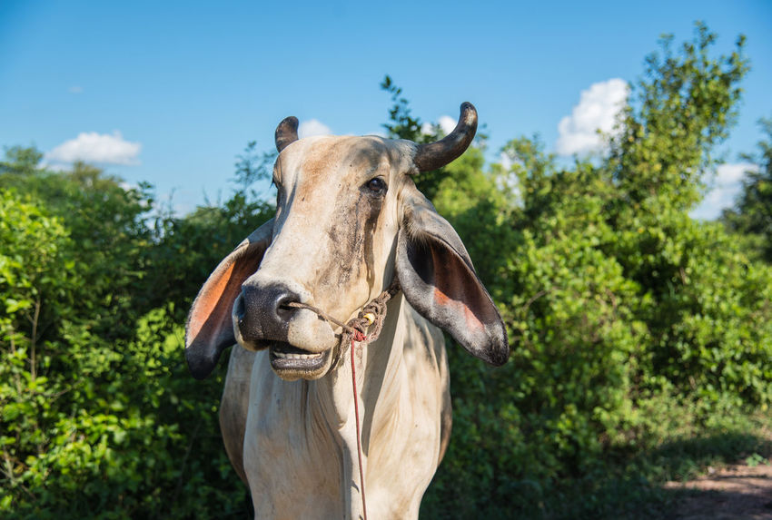 Animals In The Wild Beef Country Farm Nature Animal Animal Themes Countryside Cow Cow Farm Domestic Animals Mammal Nature Pet Xo