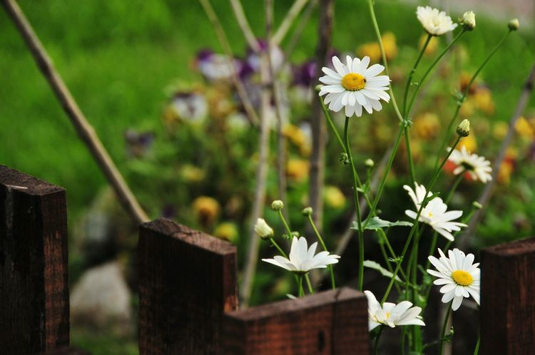 White Daisy Flowers Wooden Fence Cantry