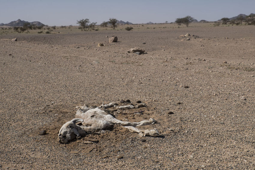 low angle view of dead goat in arid landscape in africa Aridity Dry Landscape Postapocalyptic Catastrophic Farming Africa Dead Death Goat Thirst Land Landscape Mammal No People Environment Animal Nature Animal Themes Day Field Scenics - Nature Desert Bone  Animal Wildlife Animals In The Wild Sunlight Arid Climate Group Of Animals Domestic Animals Climate