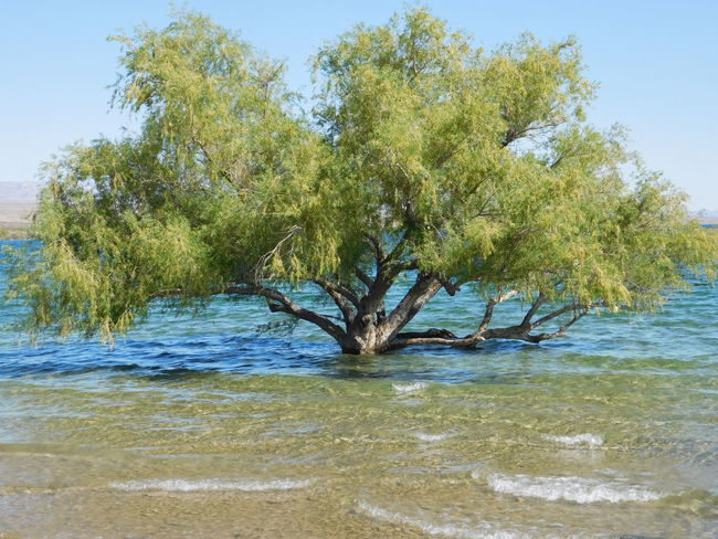 Colorado River Cottonwood Cove Az Cottonwood Trees Day Nature River Tree Water