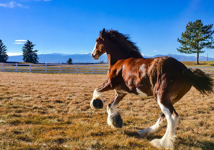Horse Domestic Animals Mammal Animal Themes One Animal Field Sky Tree Day Livestock Standing Outdoors No People Nature Blue