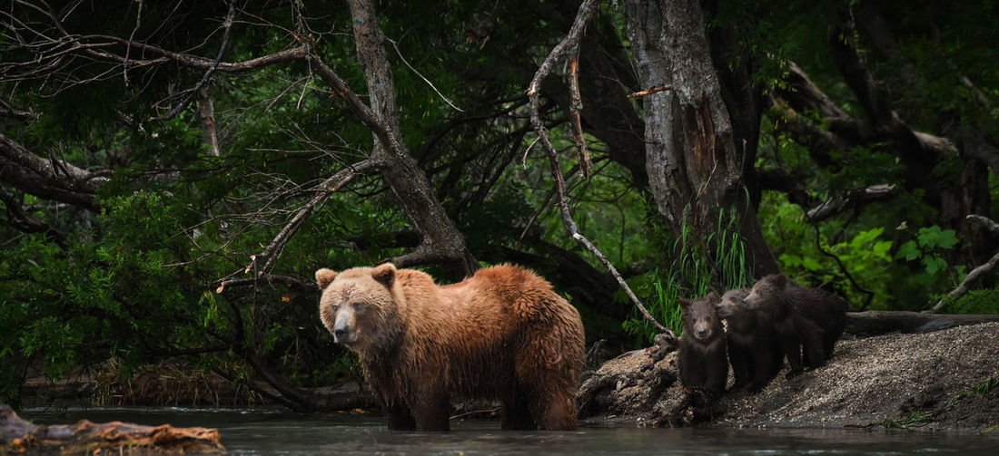 Bear with infants at lake in forest
