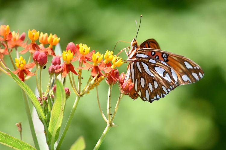 Insect Animals In The Wild Flower Fragility Nature Animal Themes Focus On Foreground Beauty In Nature Butterfly - Insect One Animal Freshness Plant Close-up Growth Animal Wildlife Outdoors Day Pollination No People Flower Head Orange