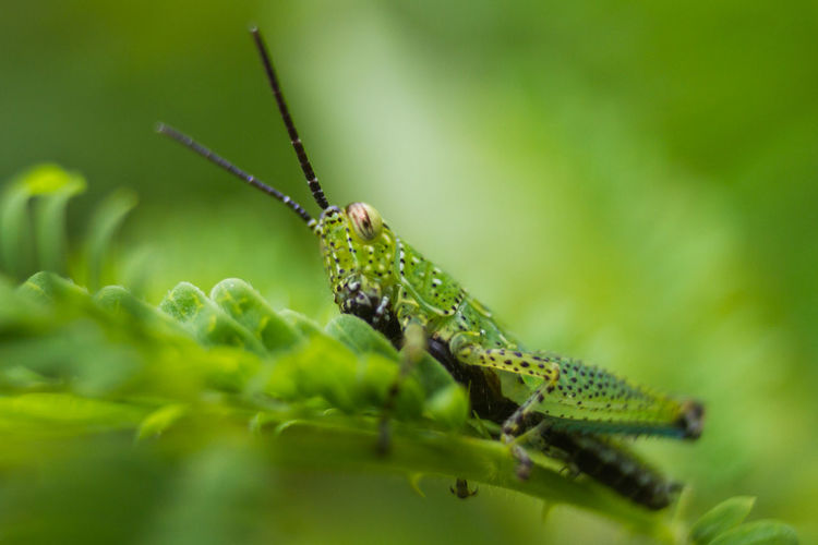 Green Grasshopper Insect One Animal Animal Wildlife Animal Themes Green Color Animals In The Wild Invertebrate Animal Insect Close-up Selective Focus Grasshopper Nature No People Animal Body Part Plant Day Animal Antenna Plant Part Leaf Outdoors