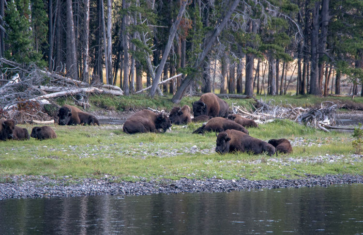 Buffalo herd by a river in Wyoming usa Outdoors Photograpghy  Vacation Hairy  Dangerous Animals Majestic Creature Animal Wildlife Mammal Brown Bison Beautiful Day Landscapes Buffalos Nature Active Yellowstone National Park Bison Group